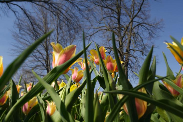 between the tulips