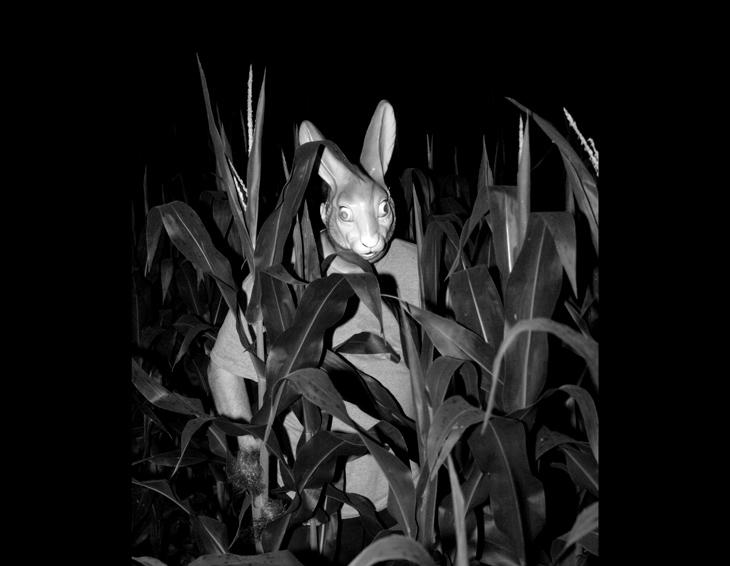 jack rabbit in the corn field